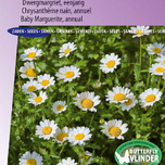 Margerite Snow Daisy (Chrysantemum)