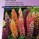 Lupine Russel Hybrids Mix