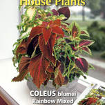 Zimmerpflanze Coleus Rainbow mix