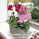 Zimmerpflanze Cyclamen Royal mini mix