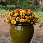 Tagetes 'Strawberry Blonde' F1